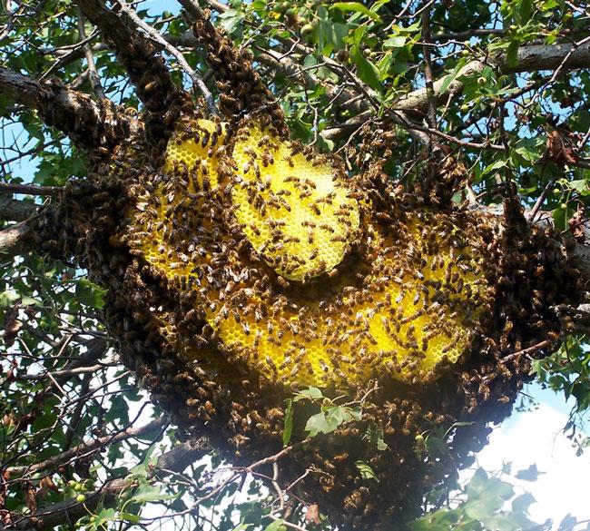 sarang-lebah